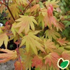 Acer palmatum Moonrise - Japansk Løn - Japansk Ahorn