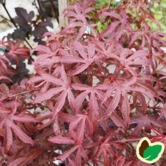 Acer palmatum Shirazz - Japansk Løn - Japansk Ahorn