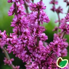Cercis chinensis Avondale / Kinesisk Judastræ