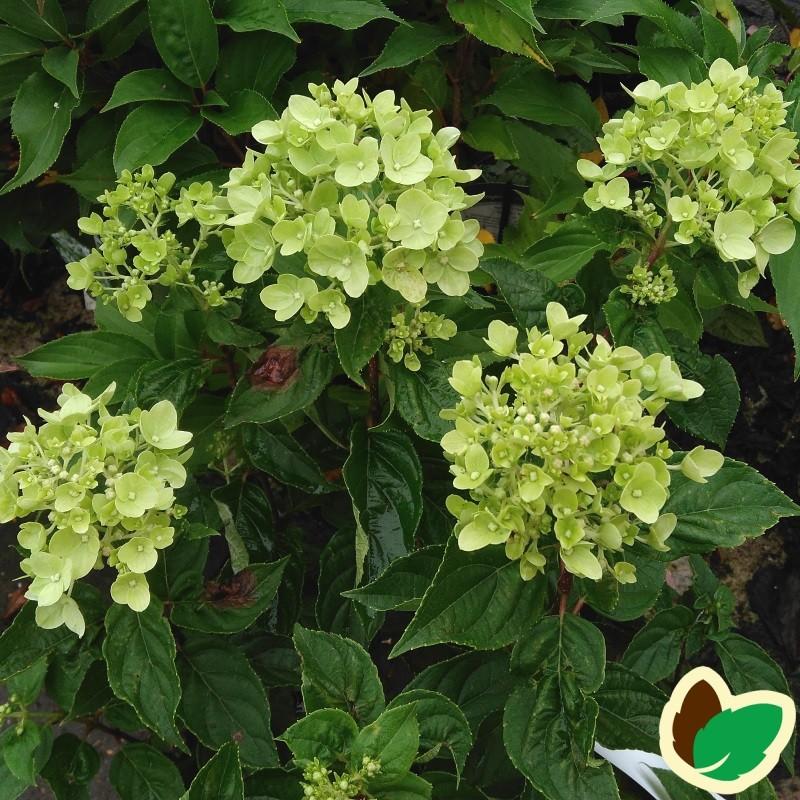 Hydrangea paniculata Little Lime / Træagtig Hortensia