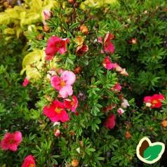 Potentilla fruticosa Bellissima - Buskpotentil