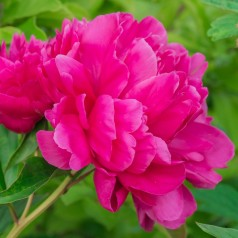 Paeonia lactiflora Bunker Hill / Silkepæon