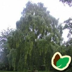 Betula pendula Tristis - Hængebirk / Træ 175-200 cm.