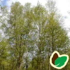 Betula pubescens - Dunbirk / 175-200 cm.