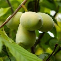 Indianer bananer Sweet Alice / Asimina triloba / Paw Paw