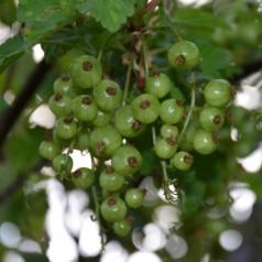 Solbærbusk Venny - Ribes nigrum Venny