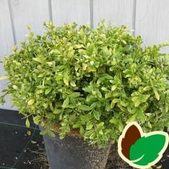 Buxus microphylla Herrenhausen - Buksbom