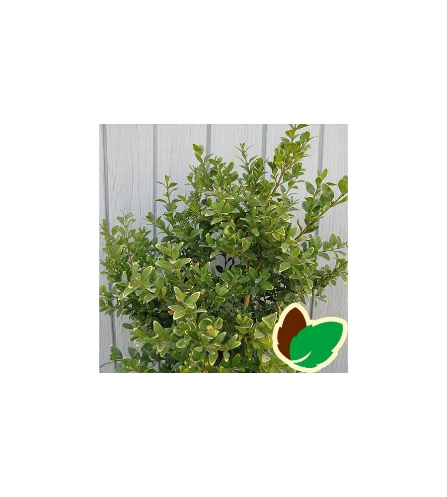 Buxus sempervirens Arborescens - Buksbom