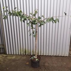 Ginkgo biloba Pendula - Hængende Tempeltræ / 80 cm. stamme