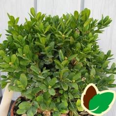 Buxus sempervirens Suffruticosa - Buksbom / 10-15 cm.
