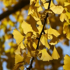 Ginkgo biloba Beijing Gold - Broget Tempeltræ