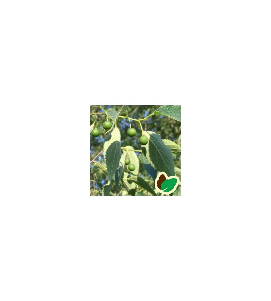 Celtis australis / Nældetræ