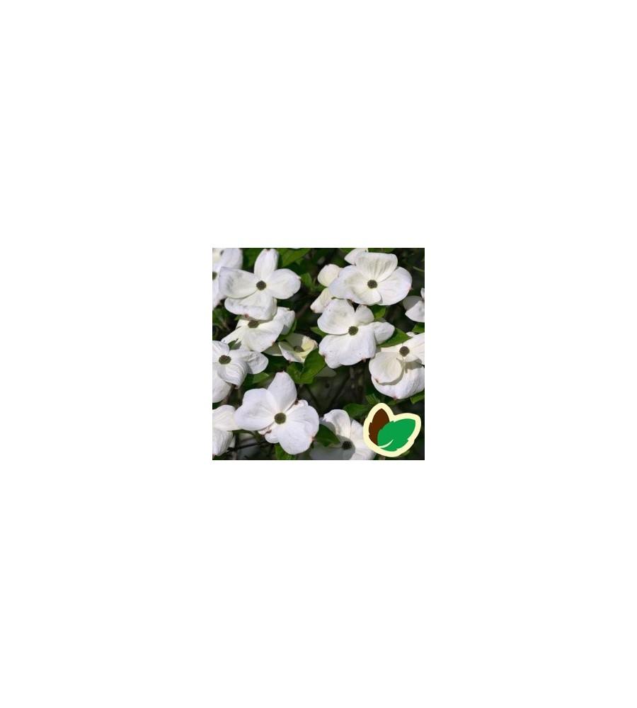 Cornus kousa Eddies White Wonder - Blomsterkornel