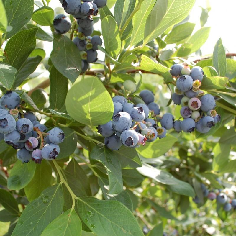 Blåbær Blue Crop
