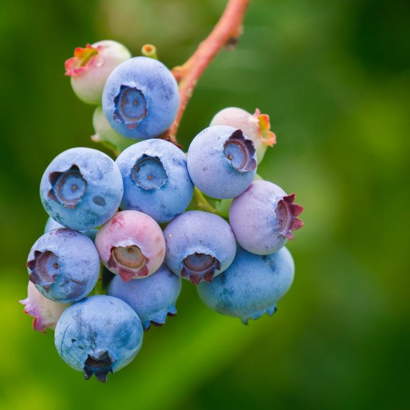 Blåbær Bluejay