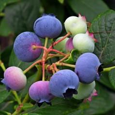 Blåbær Bluetta