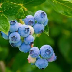 Blåbær Chandler
