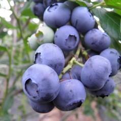 Blåbær Coville