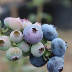Blåbær Emblue