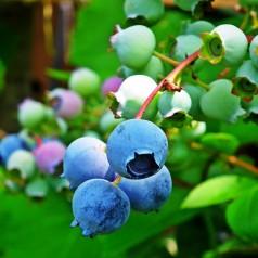 Blåbær Goldtraube