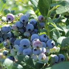 Blåbær Northland