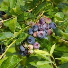 Blåbær Bluegold