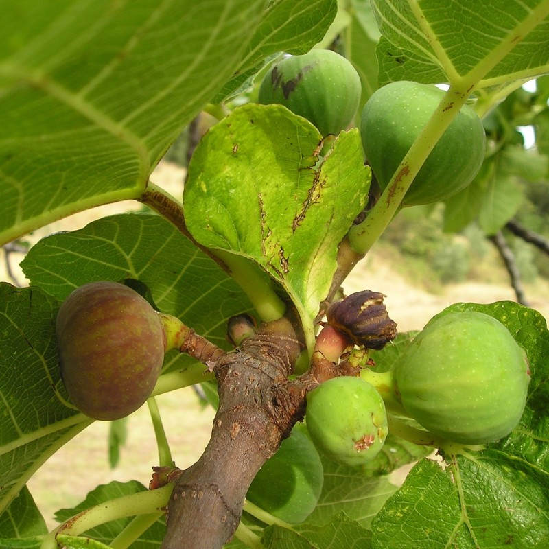 Bornholmsk Figen - Ficus carica Smyrna