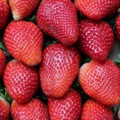 Jordbærplanter Magnum - Middeltidlig