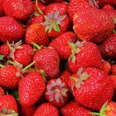 Jordbærplanter Mariguette - Remonterende