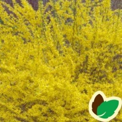 Forsythia intermedia Northern Gold - Forsytia / Vårguld