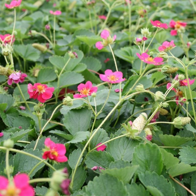 Prydjordbær Deep Rose