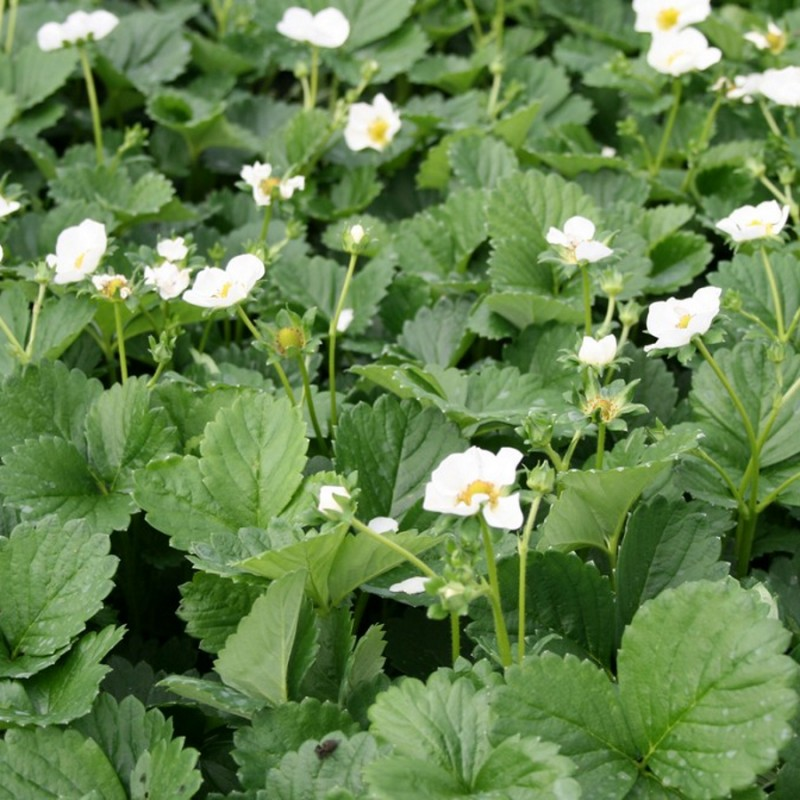 Prydjordbær White