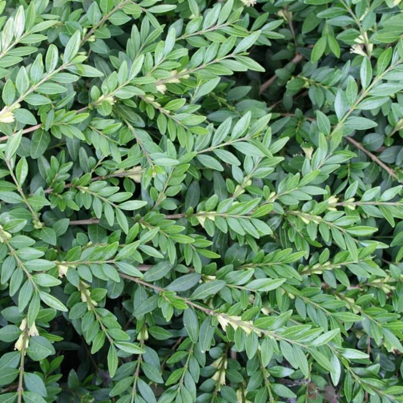 Lonicera pileata - Liguster Gedeblad