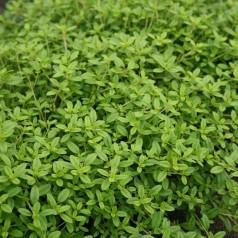 Thymus citriodorus Aureus / Krybende citrontimian