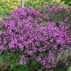 Smalbladet timian, Thymus Coccineus
