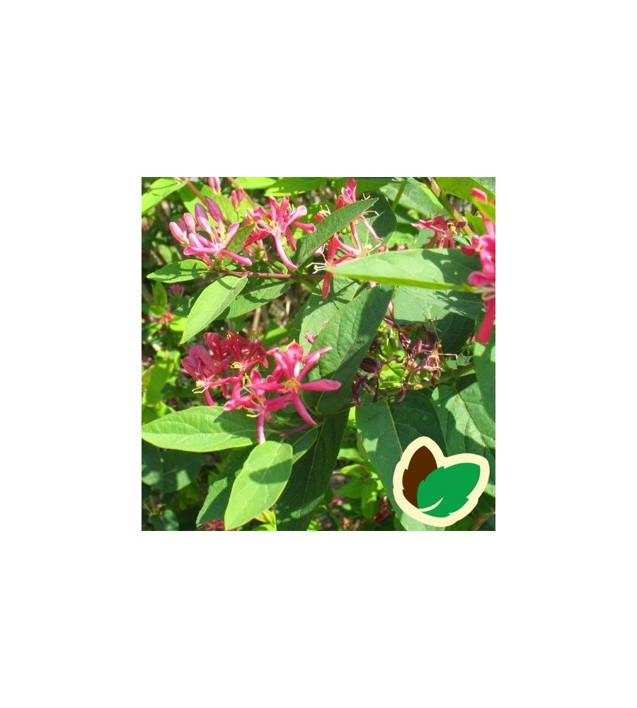 Tatarisk Gedeblad Rosea 10 stk. 30-50 cm. barrods  - Lonicera tatarica Rosea - s