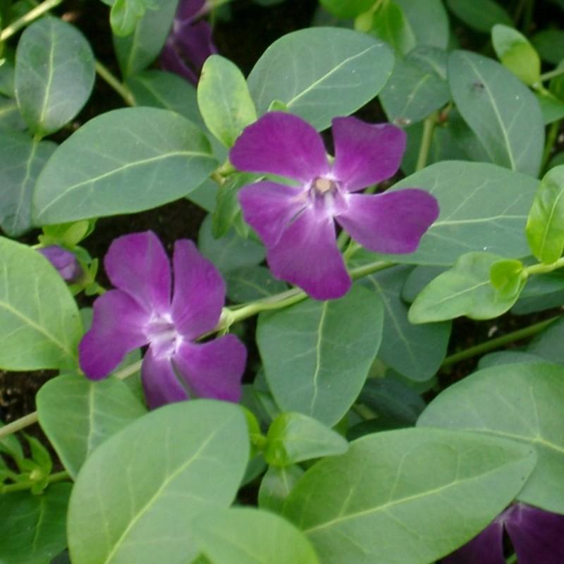 Vinca minor Rubin - Vintergrøn