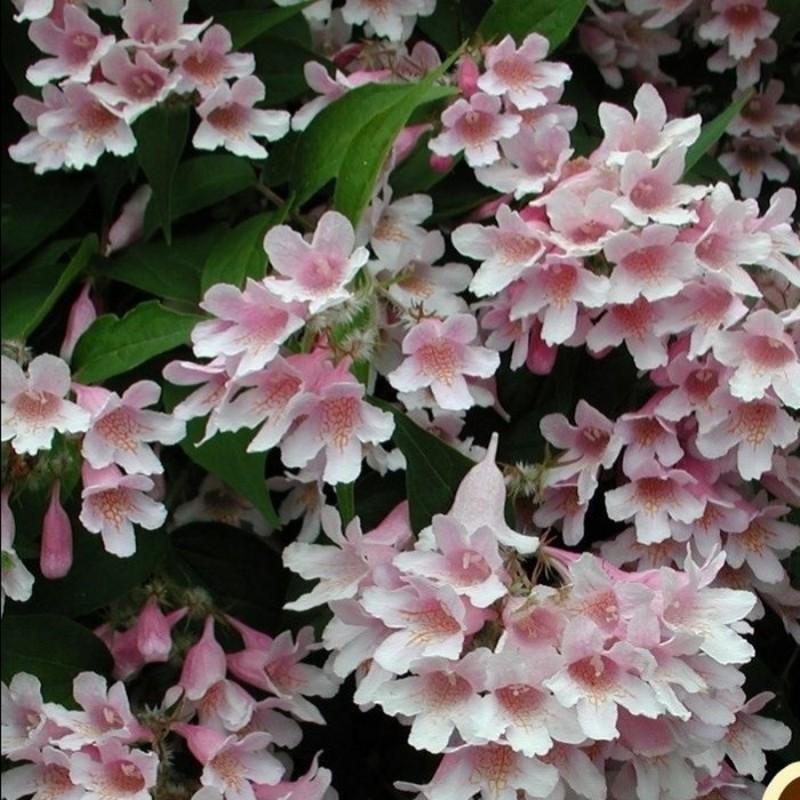 Dronningebusk, Kolkwitzia amabilis Syvdal