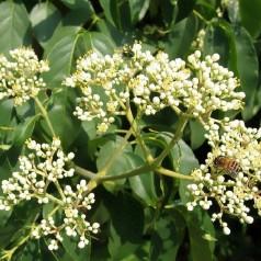 Honningtræ, Euodia Daniellii Var Hupehensis