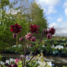 Aquilegia vulgaris Ruby Port
