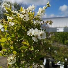 Exochorda racemosa Niagara - Perlebusk
