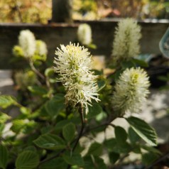 Fothergilla Major - Troldel