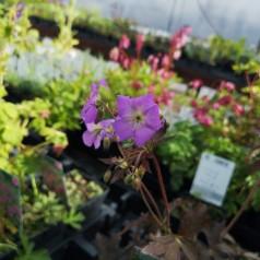 Geranium maculatum Elisabeth Ann