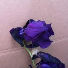 Iris germanica Sable