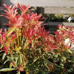 Pieris japonica Flaming Silver