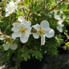 Potentilla fruticosa Abbotswood - Buskpotentil