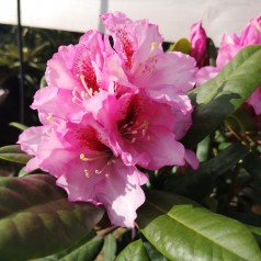 Rhododendron hybrid Diadem