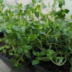 Thymus vulgaris Lammefjord / Timian