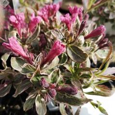 Weigela florida Monet - Flerfarvet Klokkebusk