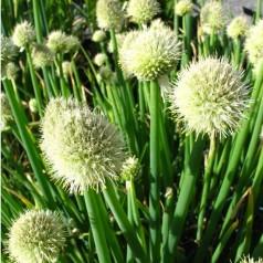 Allium fistulosum / Pibeløg